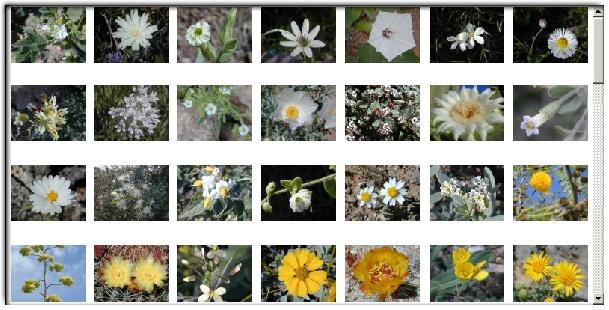 Arizona Wildflower Blossoms