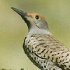 Common Flicker Woodpecker
