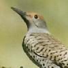 Common Flicker Woodpecker