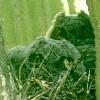 Baby Elf Owls