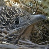 Roadrunner on Nest
